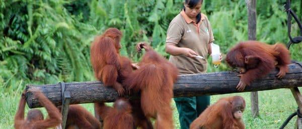 orangotangos