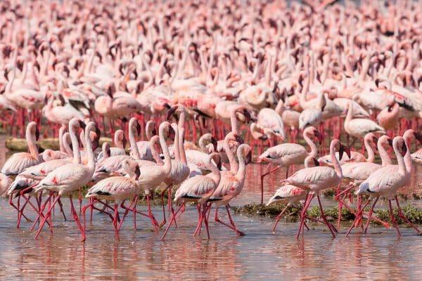 Flamingos no Quênia