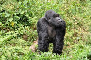 Trekking de Gorilas em Ruanda